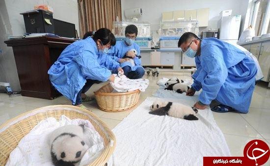 رونمایی از 10 نوزاد پاندا در چین +تصاویر