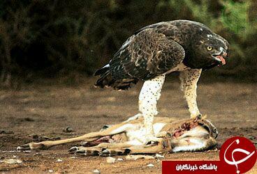 تیتر عقابی که به تصویر بردار هم رحم نمی کند+عکس