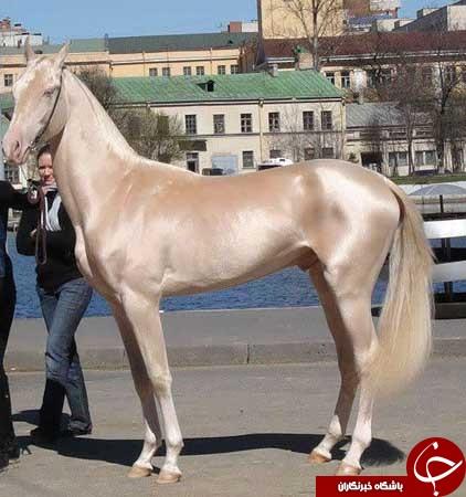 آشنایی با زیباترین اسب های دنیا+عکس