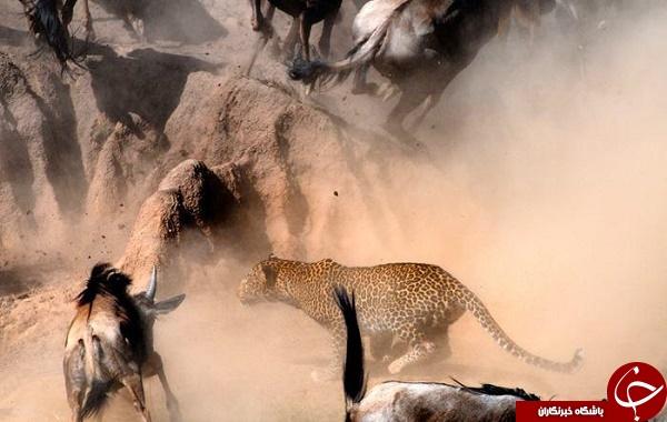 لحظه حمله مرگبار پلنگ به گله گاومیش ها +تصاویر