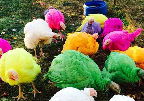 مزرعهداری که حیواناتش را رنگ میکند +تصاویر