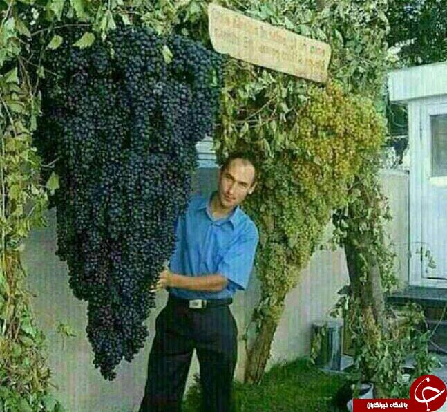 بزرگترین خوشه انگور دنیا+عکس