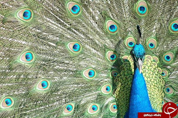 قسمت دوم/ده عکس طاووس بسیار زیبا