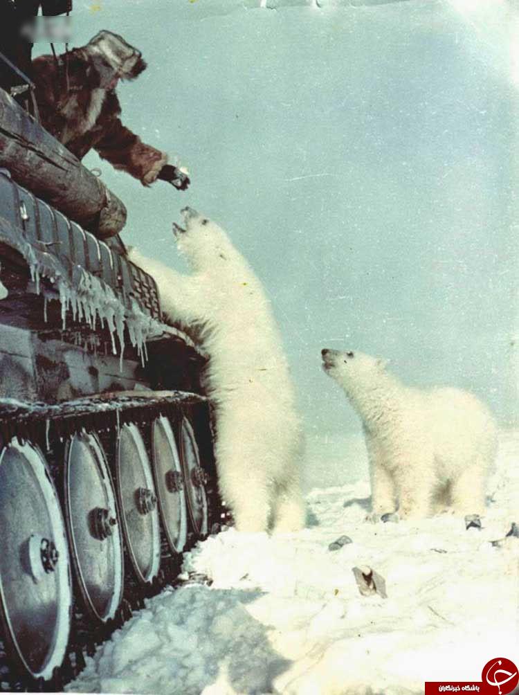 غذا دادن به خرس های قطبی با تانک+ عکس