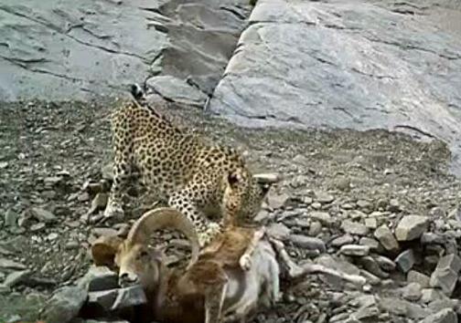پلنگ ایرانی در حال خوردن شکار در دام دوربین تله ای افتاد+ تصویر
