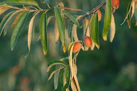 درختان سنجد دامغان به بار نشست