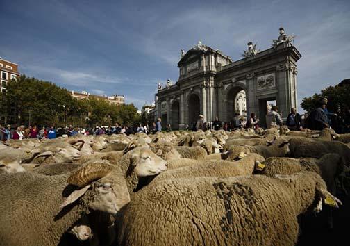 رژه هزاران گوسفندان در خیابانهای پایتخت اسپانیا! + تصاویر