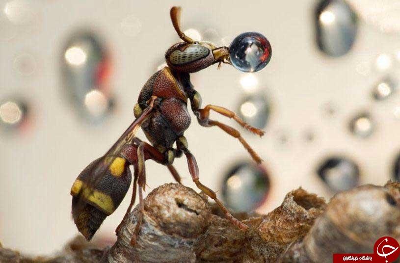 تصویر زیبای حمل آب توسط زنبور