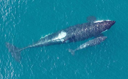 تصاویری منحصر به فرد  از نهنگ قاتل و فرزندش+ تصاویر