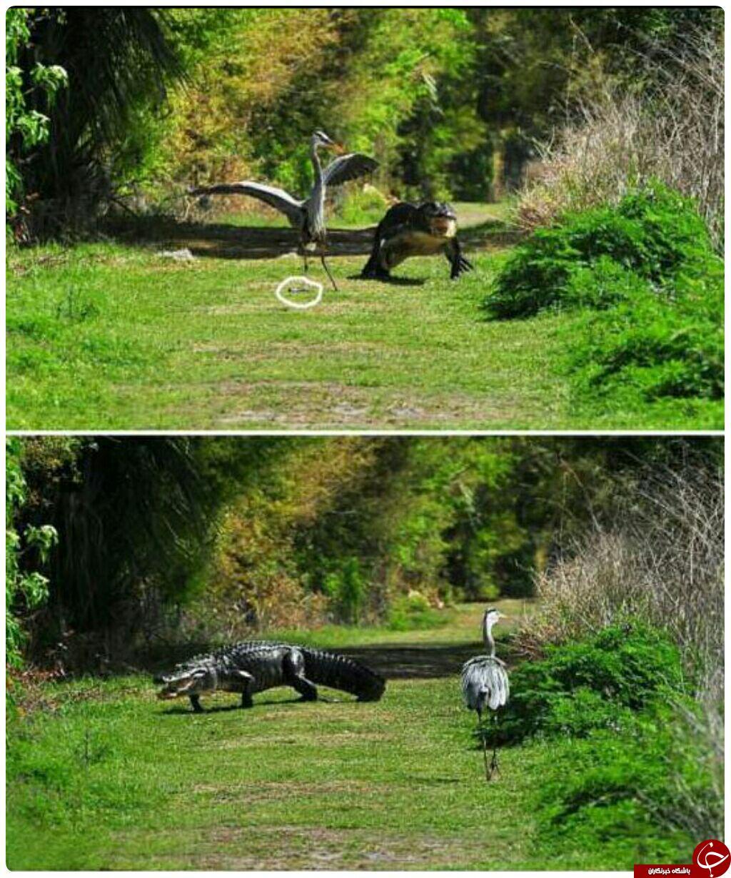 کروکودیلی که ازدست یک پرنده می گریزد+عکس