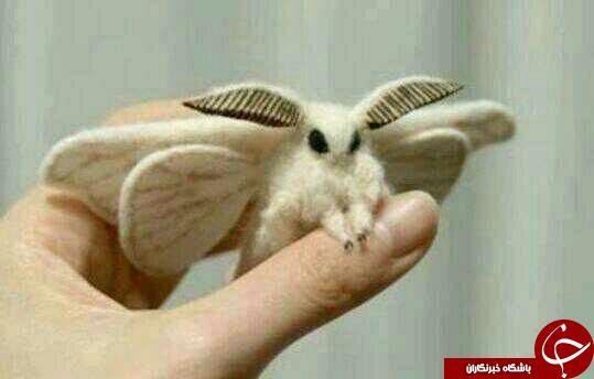 پروانه بابيلس ،بامزه ترین حشره جهان+عکس