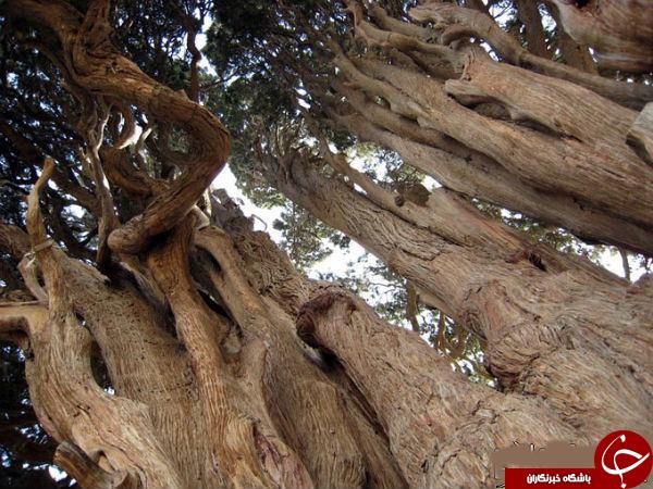 نگاهی به  سرو چهار هزار ساله درایران+تصاویر