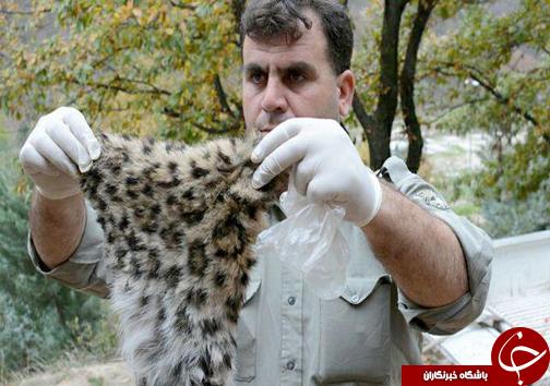 کشتار بیرحمانه یک پلنگ ایرانی در منطقه جنگلی لوه + تصاویر