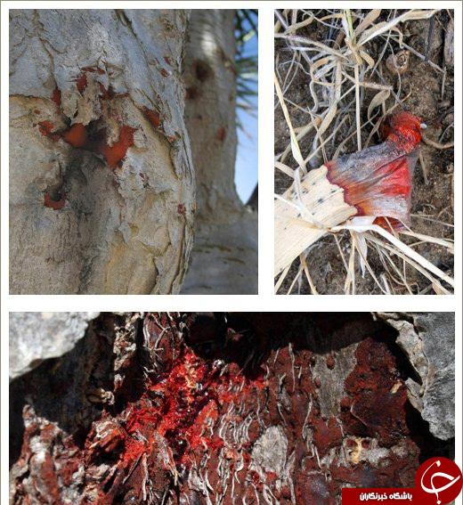 نمایی ازدرخت خون اژدها در یمن!