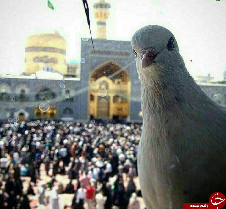 سلفی کبوتر در جوار حرم امام رضا + عکس