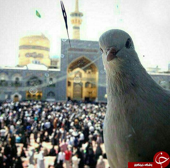 سلفی کبوتر حرم امام رضا(ع) + عکس