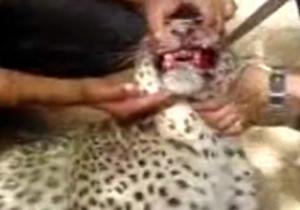 پوست کندن یوزپلنگ ایرانی در ملأعام + فیلم