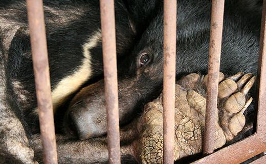 بهرهکشی ظالمانه از صفرای خرس + عکس