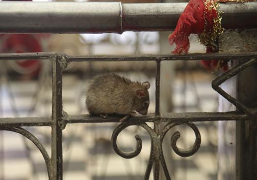 معبد موشها در هندوستان! + تصاویر