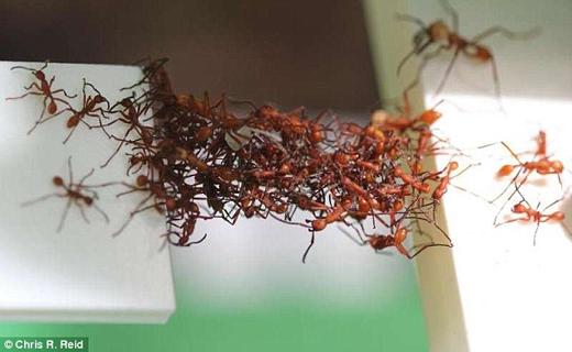 مورچه ها در ساخت پل نجات موفق ترند+ تصاویر