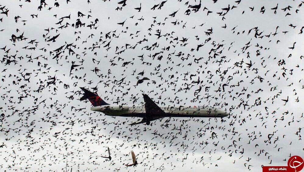 تصویری  زیبا از پرواز هواپیما در میان کوچ پرندگان
