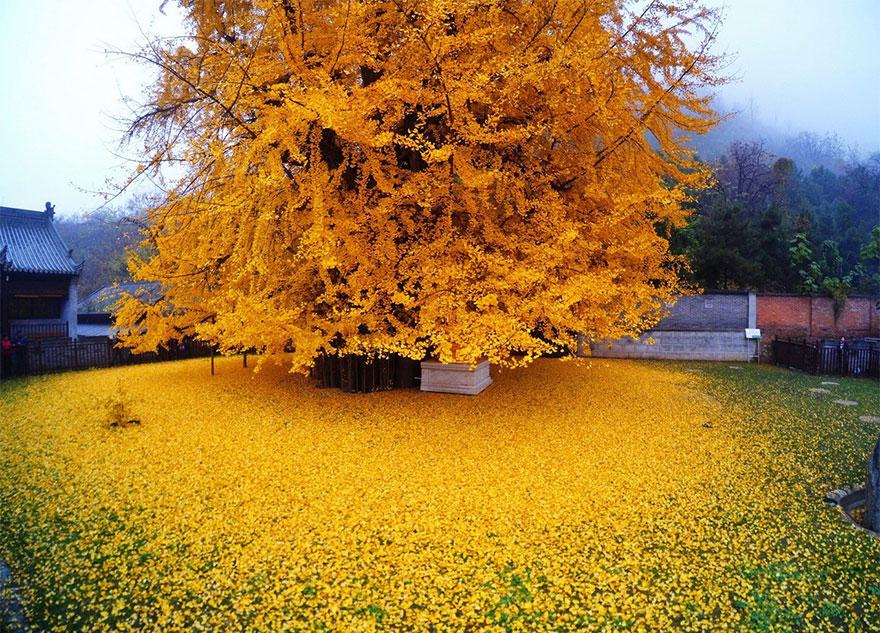 درختی به قدمت اسلام + عمس