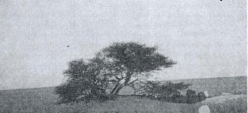 تنها ترین درخت دنیا +تصاویر!