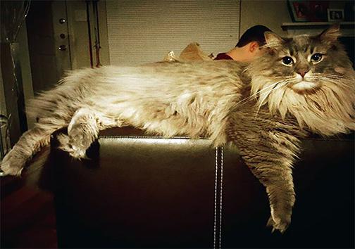 گربهی مین کُن، بزرگترین نژاد گربههای خانگی + تصاویر
