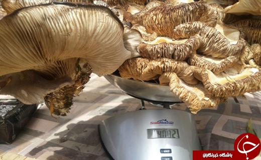بزرگترین قارچی که تاکنون دیدهاید! + تصاویر