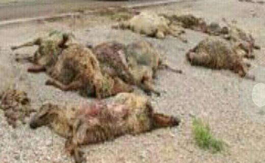 کشتار بیرحمانه گوسفندان /تصاویر