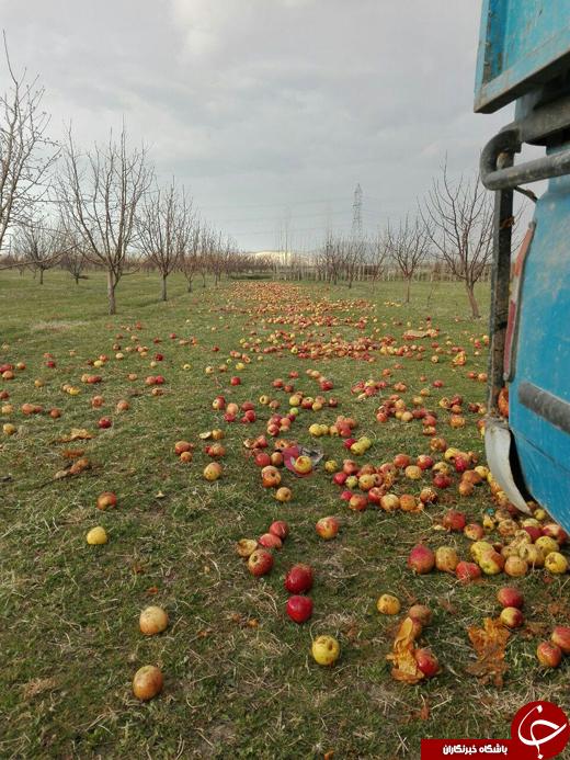 سیبهای سرخی که خوراک دامها میشوند + تصاویر