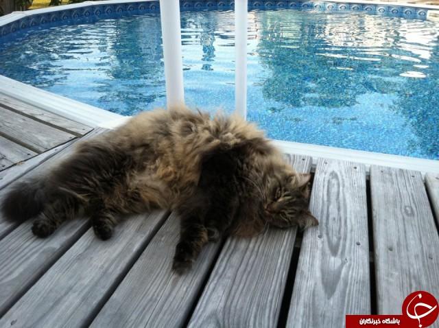 تپل ترین گربههای دنیا را ببینید+تصاویر