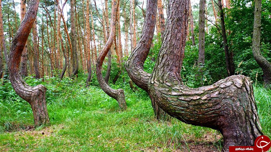 جنگل کج در نزدیکی لهستان+تصاویر