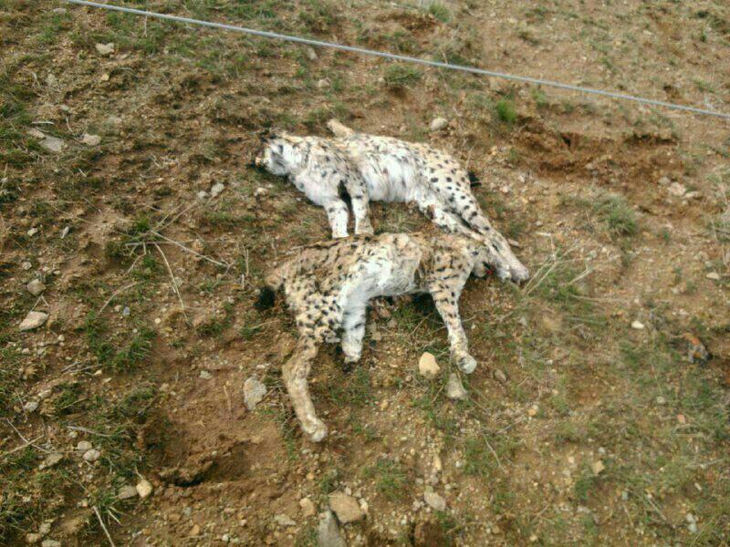مرگ دو قلاده سیاه گوش نر و ماده