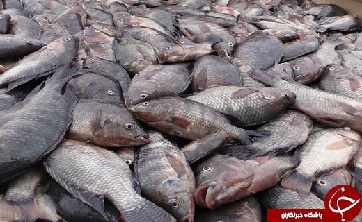 این ماهی وارداتی غیرمجاز و کشنده را نخرید!