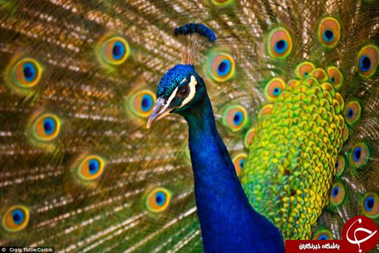 اگر طاووس به خود میبالد جای تعجب نیست! + عکس