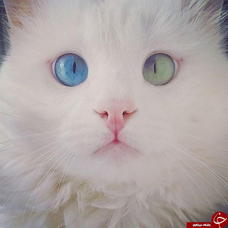 گربه ای با چشمان خیره کننده +تصاویر