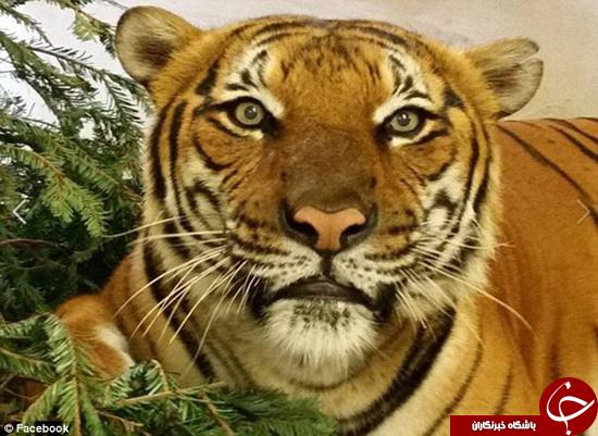 کشته شدن کارمند باغوحش توسط ببر + تصاویر