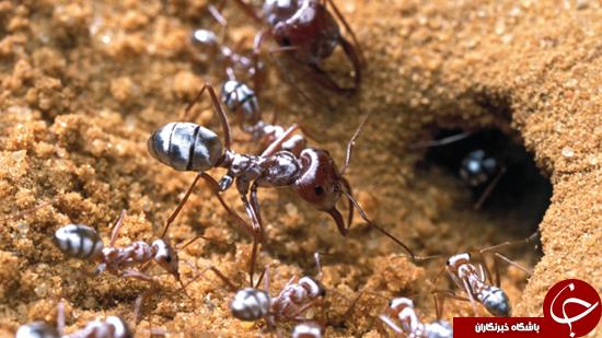 اصلاح پرزهای مورچه تحقیق جدید دانشمندان + تصاویر