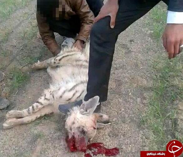 شکنجه بی رحمانه یک کفتار توسط اراذ ل + فیلم و تصاویر (+18)