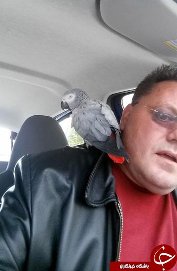 طوطی فراری با تاکسی به خانه بازگشت + تصاویر