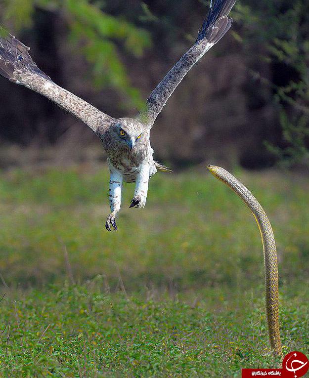 جدال یک عقاب و مار کبری