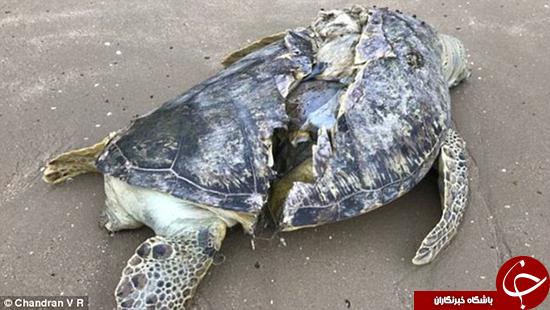 دلخراشترین تصویر از لاکپشت