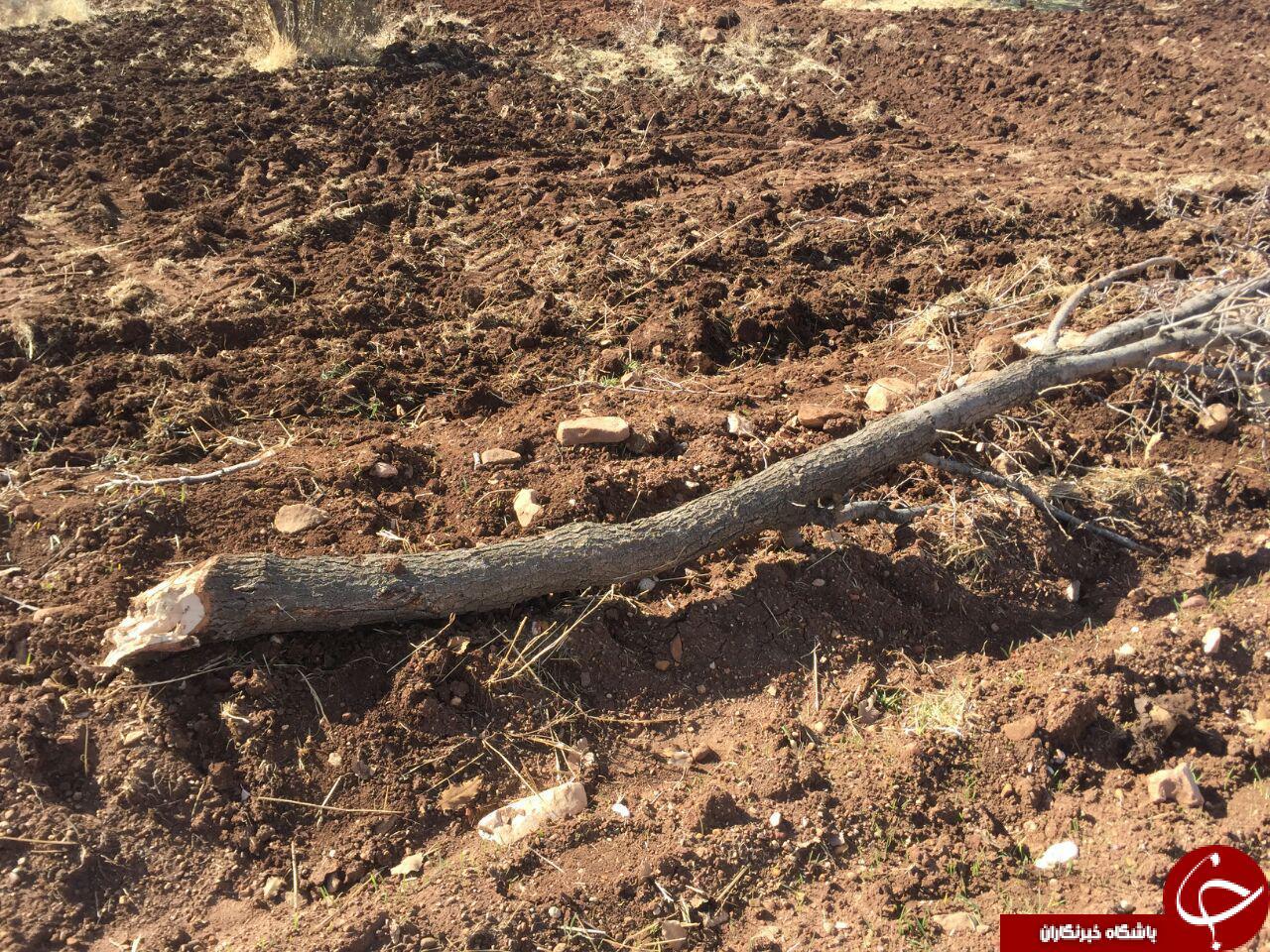 جنگل اولاد قباد رو به نابودی است + تصاویر