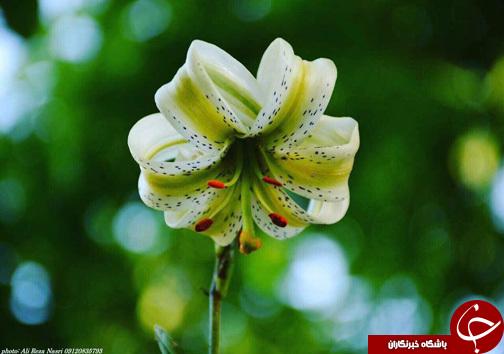نادرترین گل جهان در ایران! (عکس)