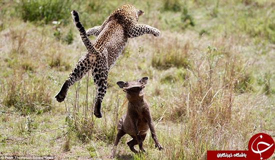 پرواز پلنگ برای شکار گراز +تصاویر