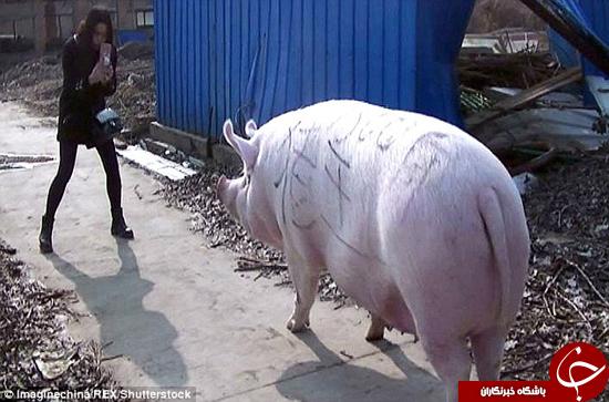 شاه خوک چینی را ببینید +تصاویر