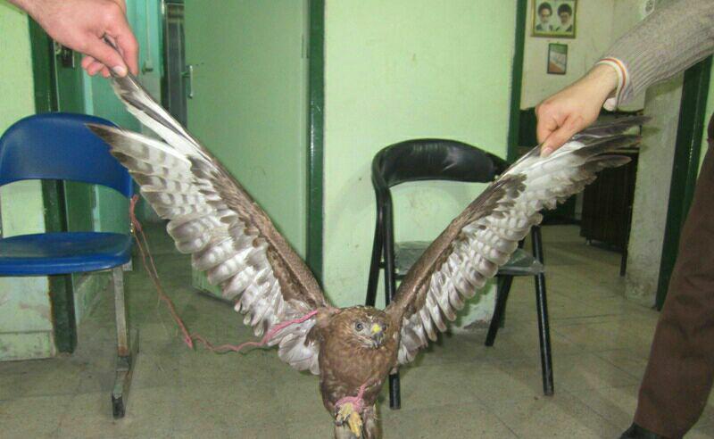  كشف عقاب شكاری در شفت