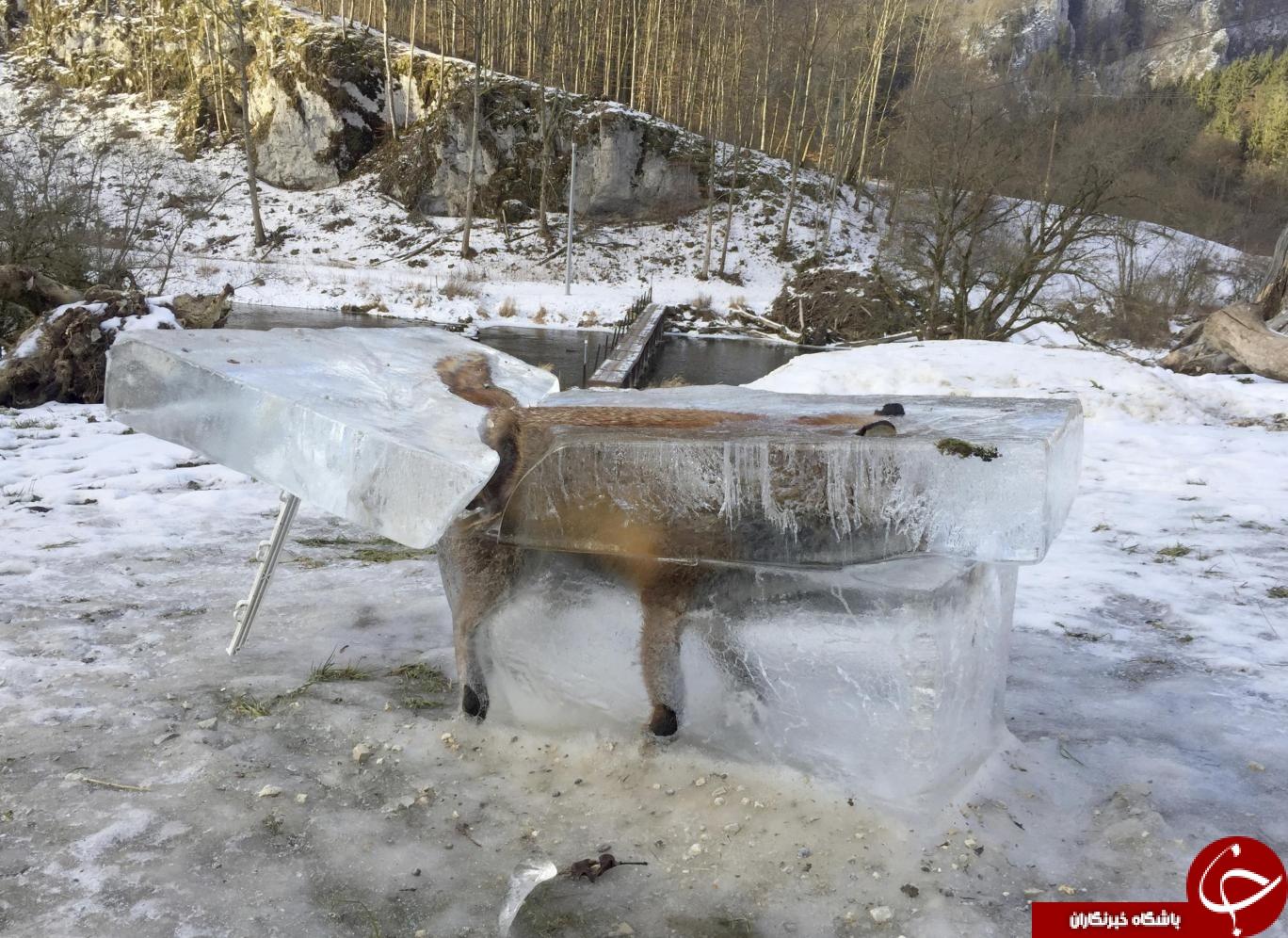 تصویر عجیب روباه یخزده در آلمان