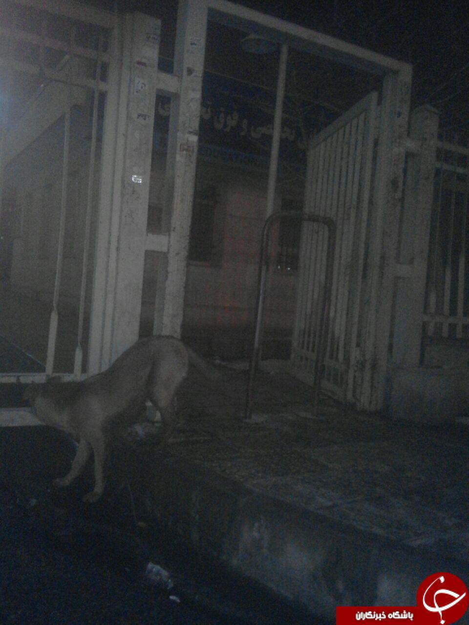 رفت و آمد سگهای ولگرد در ورودی بیمارستان + تصاویر